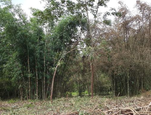 Bindura Bamboo