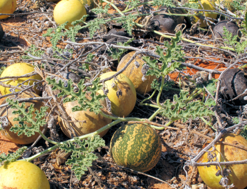 Wild Melons