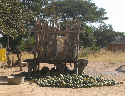 Unexpected rewards from wild melons in Silobela